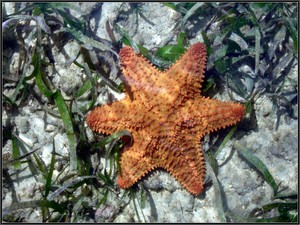 6_pointed_star_fish